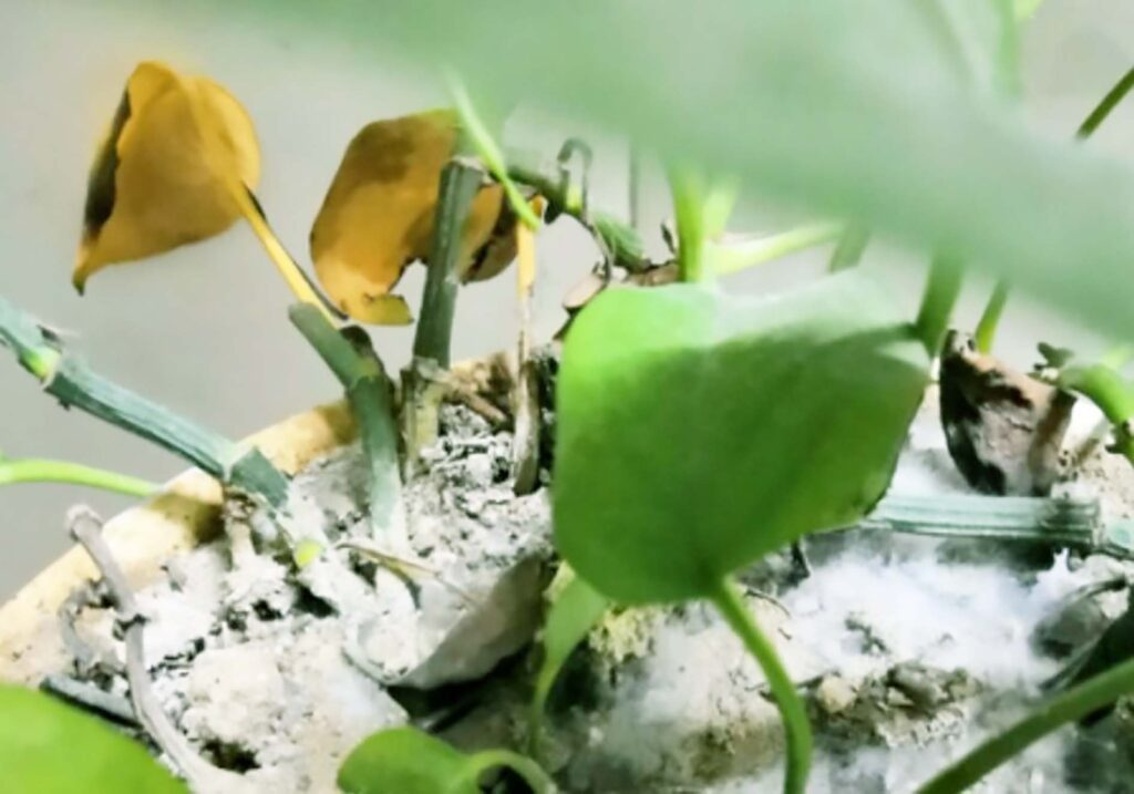 Excessive fertilization, yellowing leaves of pothos,