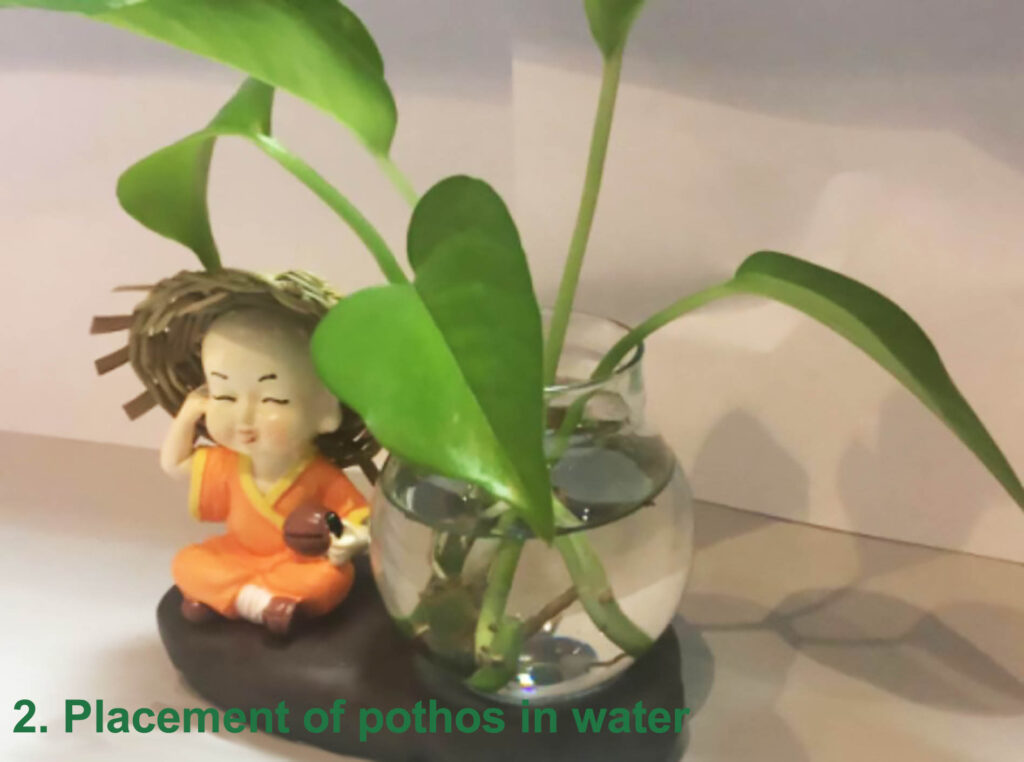 Placement of pothos in water